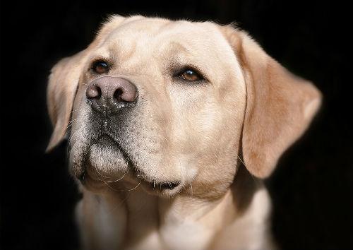 Cura del Labrador Retriever