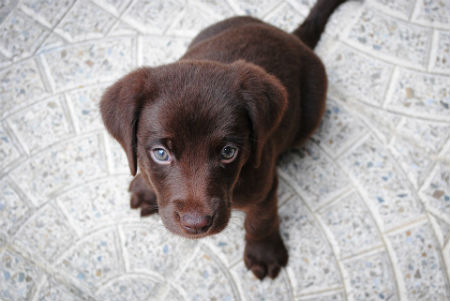 Labrador Retriever cioccolato