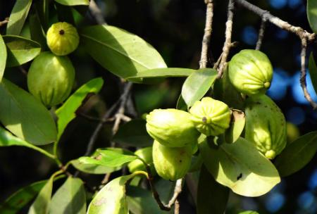 Tamarindo Malabar