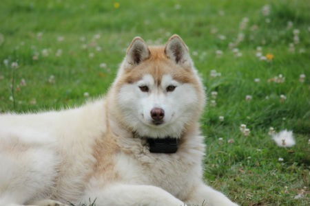 Cura del Siberian husky