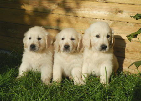 alimentare Golden Retriever