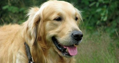 origine del Golden Retriever