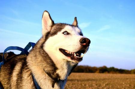 personalita dei Siberian husky