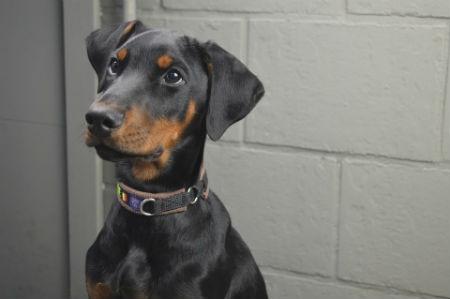 Il cucciolo di Dobermann
