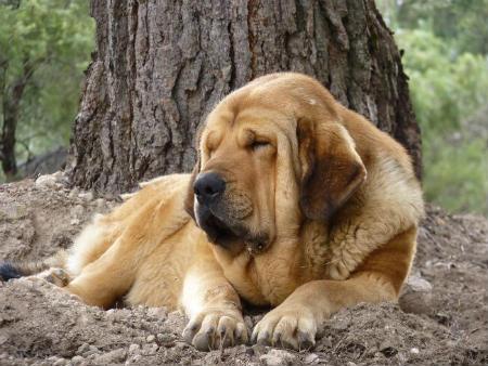 cane Mastino Spagnolo