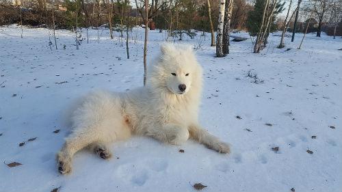 caratteristiche del cane Samoiedo