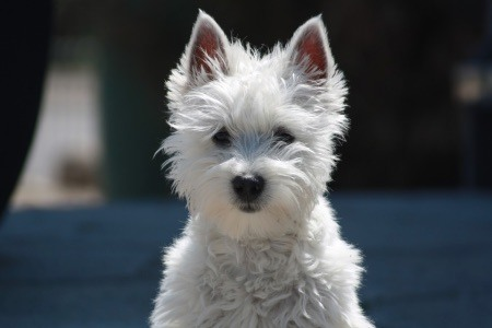 cucciolo Westy