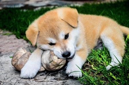 cucciolo di Akita Inu