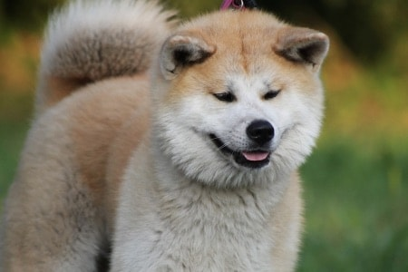 educare un cucciolo di Akita Inu