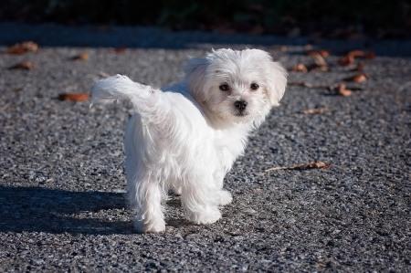 origine del cane Maltese