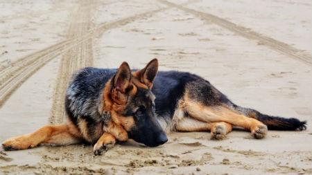 un cane versatile e intelligente