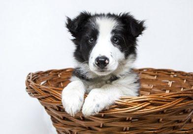 Prima di adottare un cucciolo di cane